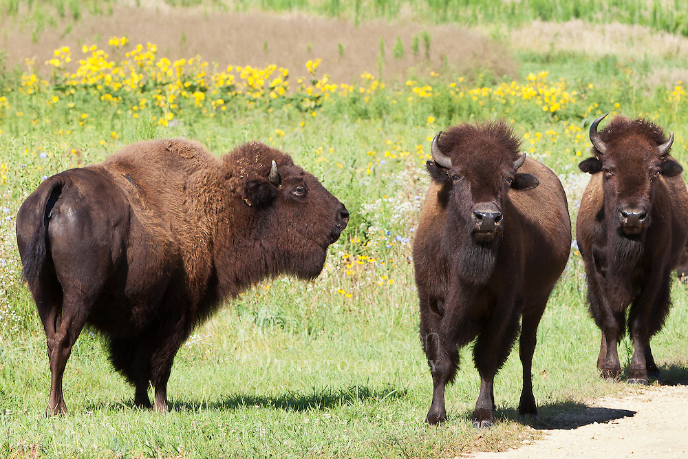 Both male and female bison have horns. In general, the base of the horn will be larger on a male than on a female. The horn tips on the male bison will tend to point upwards, while the horn tips on the females will curve slightly inward, towards the head. The inside of the horn is made of bone, while the outside is covered in keratin (similar to our fingernails and hair). Horns are not shed like antlers, but will remain attached to the bison's skulls for their entire life. If the horn is damaged during a fight or while digging, the outside keratin cap may fall off. It will not grow back, though the bony inside will harden and remain.