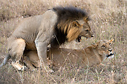 Mating pair of lions in Nairobi National Park, Kenya.