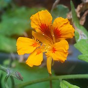 Flowering Tropaeolum majus (garden nasturtium, Indian cress or monks cress) with a ladybird beetle (Coccinellidae) larva