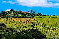 Olive groves,  Onetangi Valley, Waiheke Island, Hauraki Gulf, near Auckland, New Zealand