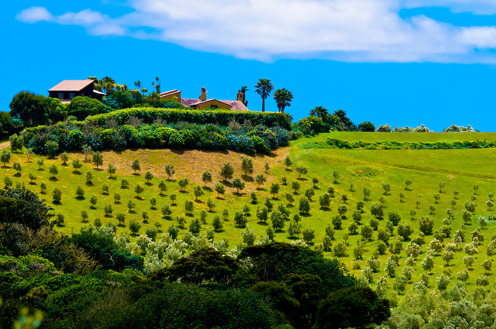 Olive groves,  Onetangi Valley, Waiheke Island, Hauraki Gulf, near Auckland, New Zealand