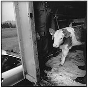 Lonely calf, kalb, transporter, auto, wagen