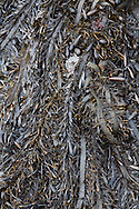 seaweed, kelp, and sea grasses out of water at low tide