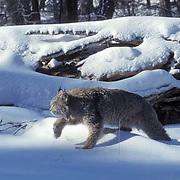 Canada Lynx, (Lynx canadensis) Adult in Snowy Rocky mountains. Montana. Winter. Captive Animal.