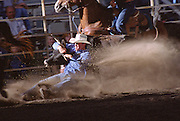 Rodeo cowboy wrestles his steer at the 2001 Wyoming Rodeo Association Finals in Pine Bluffs, Wyoming on August 26, 2001.