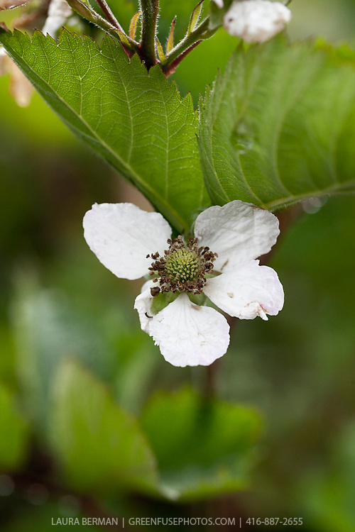 Triple Crown blackberry flowers and immature fruit.