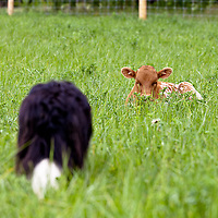 Texas Longhorn cattle in long green grass.