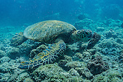 A hungry green turtle gets a mouthful as it feeds off the coral at Hawaii.