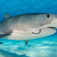 The tiger shark, Galeocerdo cuvier, with a fishing hook in its mouth. Tiger Beach, Grand Bahama, The Bahamas. Tiger sharks are considered a near threatened species due to excessive finning and fishing by humans according to International Union for Conservation of Nature (IUCN).