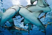 Lemon Sharks crowd at the surface<br /> <br /> Shot in Bahamas