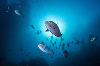 Surgeonfish and Spadefish cruise in the current under a bright sun.<br /> <br /> Shot in Raja Ampat Marine Protected Area West Papua Province, Indonesia