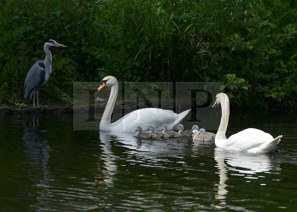 © Licensed to London News Pictures. 16/05/2012. Chiswick, UK The family pass safely by a heron waiting on the lakeside. A family of Mute swans and their brood of 7 Cygnets explore a lake in Chiswick this morning. The birth of cygnets traditionally heralds the start of summer in the UK. Photo credit : Stephen Simpson/LNP