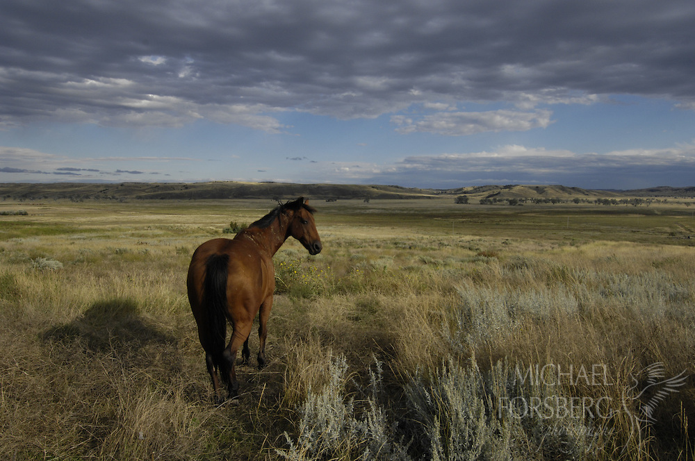 Northern Great Plains region:  South Dakota..Horse in pasture on Cheyenne River Ranch on the edge of Buffalo Gap National Grasslands.