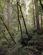 Redwood Forest, Muir Woods National Monument, California