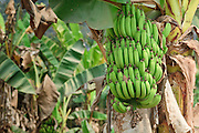 Mar. 14, 2009 -- LUANG PRABANG, LAOS: Green bananas on a tree in northern Laos.  Photo by Jack Kurtz / ZUMA Press