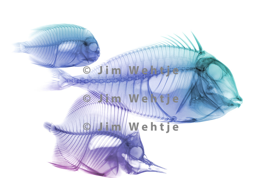 X-ray image of reef fish facing right (blue purple on white) by Jim Wehtje, specialist in x-ray art and design images.