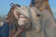 A tuareg showing his camel's teeth, Timbuktu, Mali.