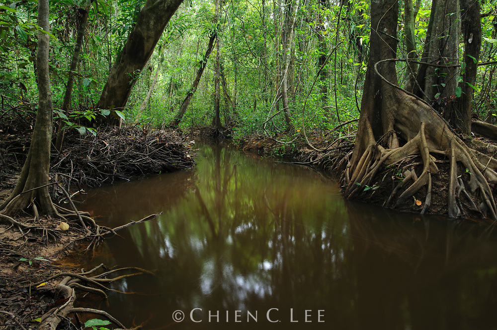 A tannin-colored stream meanders through freshwater swamp forest in Sarawak. Trees with stilt roots, pneumatophores, and buttresses, are more abundant in this waterlogged habitat, which is frequently flooded by rains. Sarawak, Malaysia.