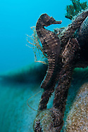 Giant Sea Horse (Hippocampus hippocampus) at shallow water in the Mediterenian coast of Israel.
