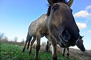 Nederland, Nijmegen, 21-2-2014Konikpaarden grazen in de Ooijpolder, Millingerwaard. De Konik leeft in kuddeverband. De wilde paarden zijn uitgezet in natuurgebieden door heel Nederland en doen het goed. Soms worden ze uitgezet in Oost-europa.Foto: Flip Franssen/Hollandse Hoogte