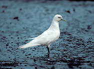 Ivory Gull - Pagophila eburnea. Length 41-45cm. An elegant and distinctive high Arctic gull. Adult has pure white plumage and black legs. The rounded head, dark eye and dainty bill create an almost dove-like appearance. At close range, note the bluish base and yellow tip to the bill. Juvenile is similar, but the face is grubby-looking and the wings are adorned with neat black spots. The Ivory Gull is typically discovered in the dead of winter and records from our region (a couple in a good year) have a northerly bias. The species often feeds on beached seal and porpoise carcasses in our region.
