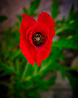 Red Oriental Poppy flower. Image taken with a Fuji X-T3 camera and 80 mm f/2.8 OIS macro lens (ISO 160, 80 mm, f/5.6, 1/70 sec).