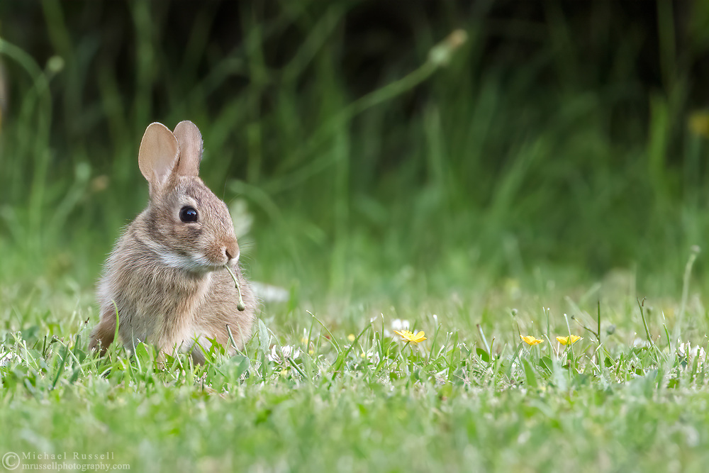 A very young  Eastern Cottontail (Sylvilagus floridanus) eating Hawkesbeard stems in a backyard garden.  The adults can be approximately 44cm (17 in) long, but this little one was only about 15cm (6 in).