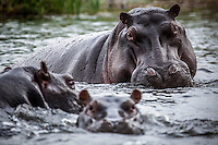 Eyes & ears of hippos peak out from the waters of the Okavango Delta, Botswana.