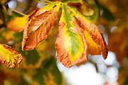 Horse chestnut tree, Aesculus hippocastanum, Suffolk, England UK fading autumnal leaf colours