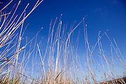 Marsh grasses against deep blue sky