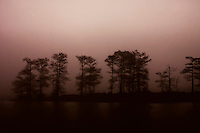 Row of trees shrouded in light fog in Venice, LA.  Copyright 2011 Reid McNally