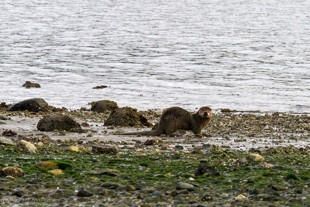 A Northern River Otter (Lontra canadensis) on the beach at Fulford Harbour on Salt Spring Island, British Columbia, Canada. This otter had been foraging on the beach, washing itself in the outlet of a stream, and rolling in the sand prior to this photograph.