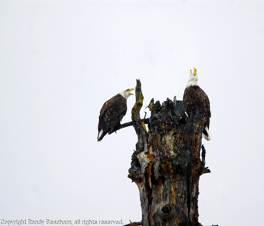 A pair of mating bald ealges on a spruce snag during a snowstorm in spring. Yaak Valley in the Purcell Mountains, northwest Montana.