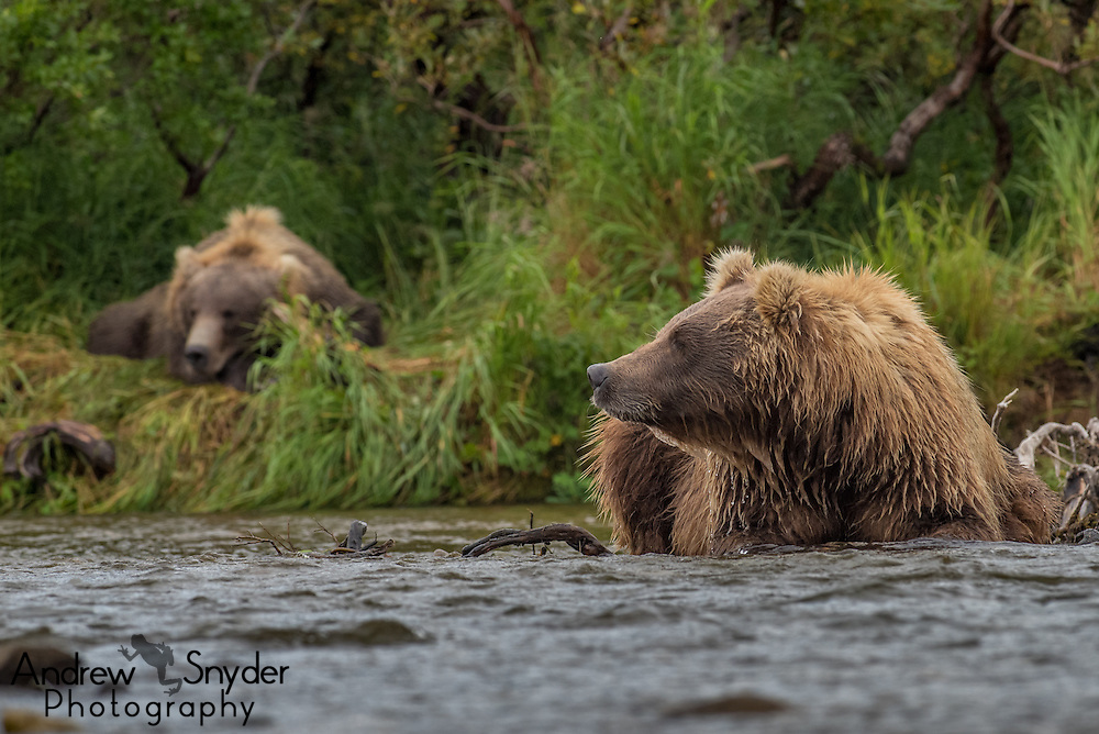 A brown bear sits in the river while another sleeps on the bank - Katmai, Alaska