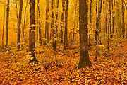 Autumn colors of maple hardwood forest in Les Notre-Dame Mountains (Appalachian Mountains). Great Lakes - St.  Lawrence Forest Region.<br />Réserve faunique de Rimouski<br />Quebec<br />Canada