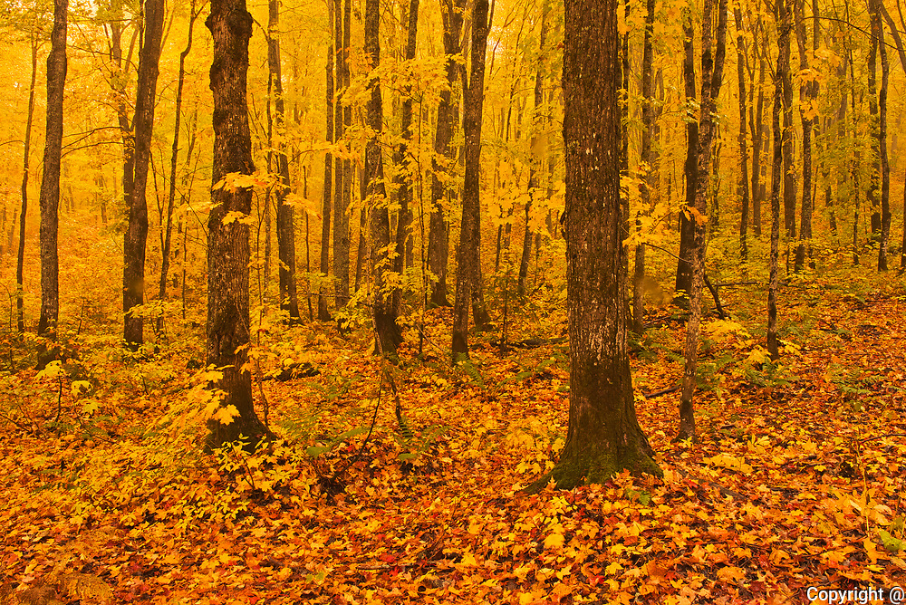 Autumn colors of maple hardwood forest in Les Notre-Dame Mountains (Appalachian Mountains). Great Lakes - St.  Lawrence Forest Region.<br />