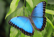 Morpho butterfly (Morpho peleides). Costa Rica. <br />