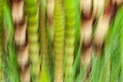 Panning the camera during a long exposure creates an impressionistic view of these horsetails growing in the Grays Harbor National Wildlife Refuge near Hoquiam, Washington.