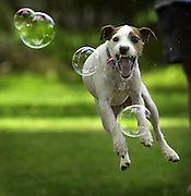 Parson Jack, a Parson Jack Russell terrier, is a maniac for bubbles as his owner, Diana Vazquez, of Vacaville blows them one afternoon at Camp Winnaribbun, a dog camp on the shores of Lake Tahoe..The Sacramento Bee/  Anne Chadwick Williams/  September 4, 2002.must love dogs gallery