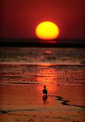 Stockente bei Sonnenuntergang auf Nahrungssuche im Wattenmeer | Mallard Duck (Anas platyrhynchos) searching for food on mud flats infront of the Island Pellworm in the North Sea