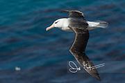 A Black-browed albatross in flight over the ocean.