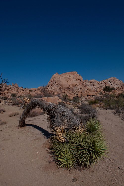 Joshua Tree (Yucca brevifolia), Willow Hole Trail, Wonderland of Rocks, Joshua Tree National Park, California, US