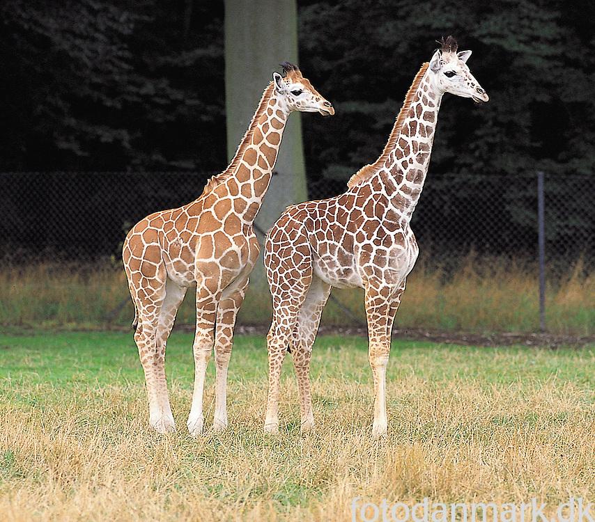 Giraffes at the savannah at Knuthenborg