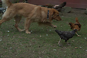 Cyrano plays with chickens in barnyard