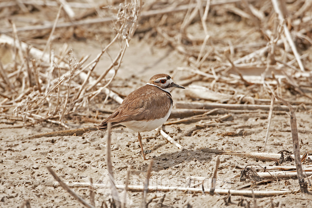 A Killdeer is a North American plover this one stands resting in the mudflats alongside a local marsh.