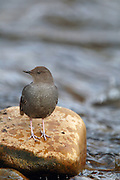 American dipper on the Yaak River in early spring. Yaak Valley, northwest Montana.