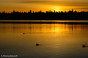 The coots moved slowly out into the bright reflection forming a siloute body moving across the orange water.  The sun had not quite come above the horizon, yet the entire landscape was golden.