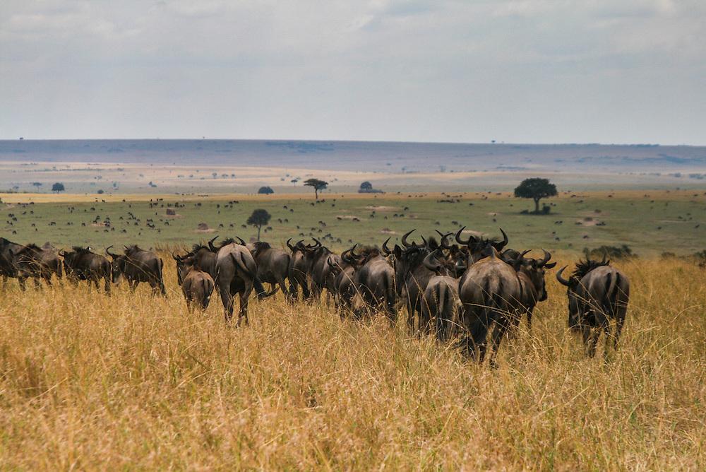 Wildebeast at the annual trek through the savanna's of the Masai mara, Kenya.
