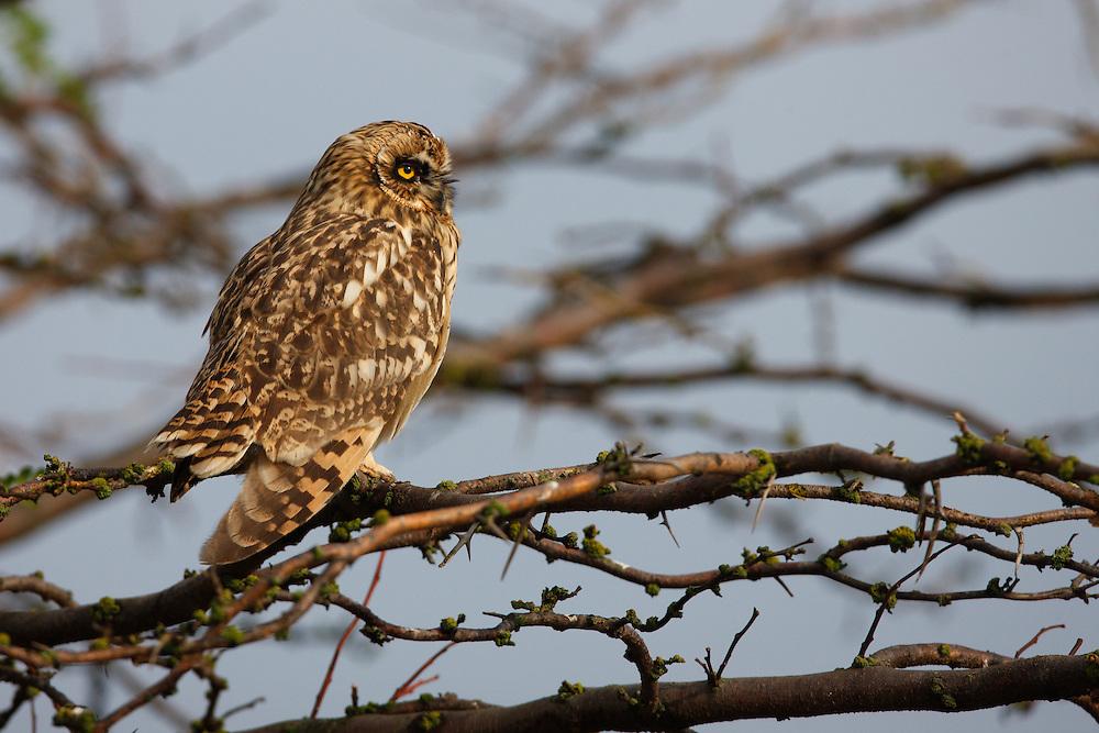 Young Short-eared Owl perching on a tree, Bagerova Steppe, Kerch Peninsula, Crimea, Ukraine