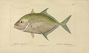Caranx from Histoire naturelle des poissons (Natural History of Fish) is a 22-volume treatment of ichthyology published in 1828-1849 by the French savant Georges Cuvier (1769-1832) and his student and successor Achille Valenciennes (1794-1865).